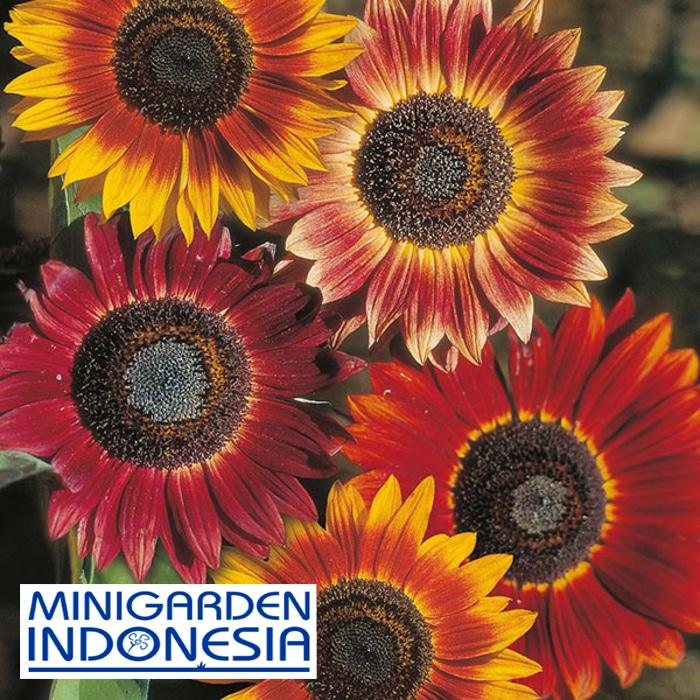 2 Benih Sunflower evening sun F1 Mr Fothergills Bibit tanaman bunga matahari