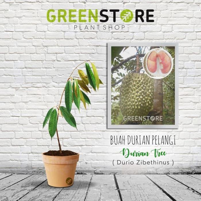 NEW Bibit Durian Pelangi