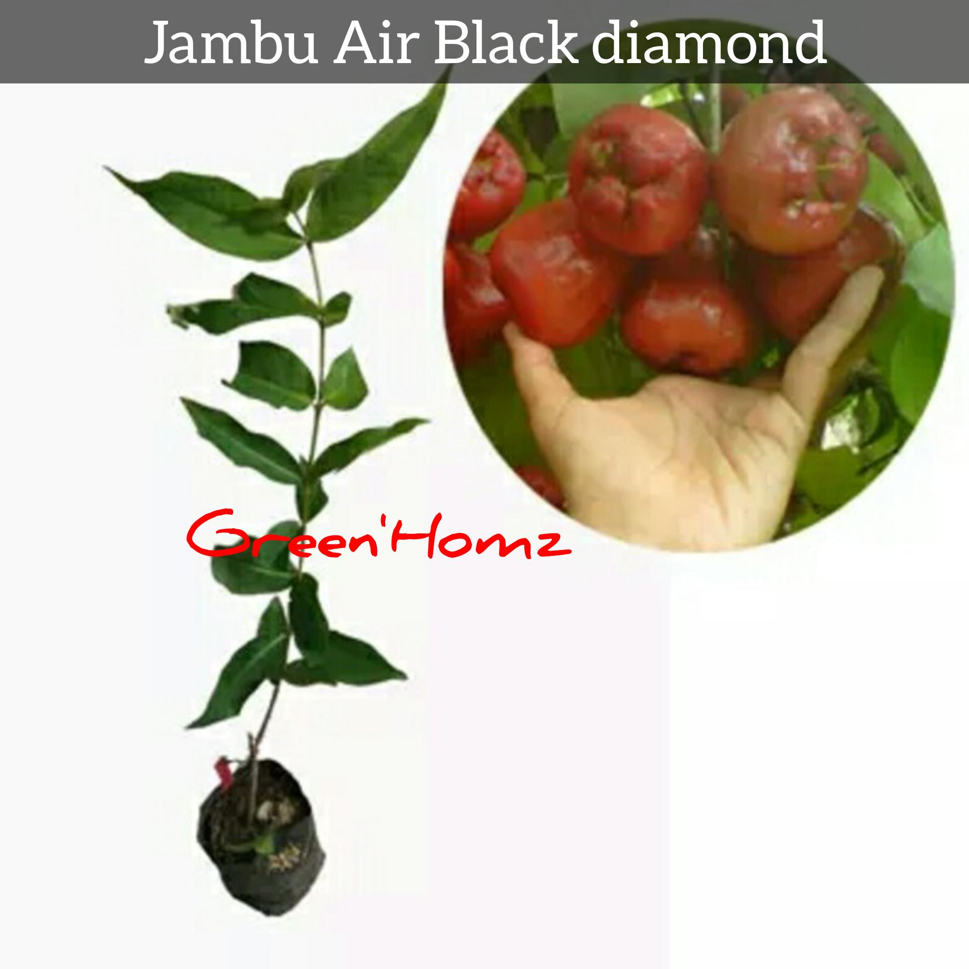 BIBIT JAMBU BLACK DIAMOND UNGGUL 50cm
