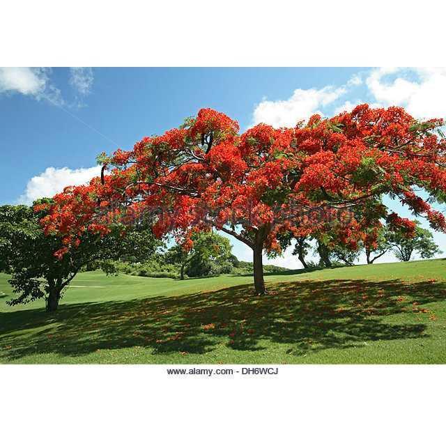 Benih / BIbit / Seed Pohon Flamboyan Orange Very Beautiful