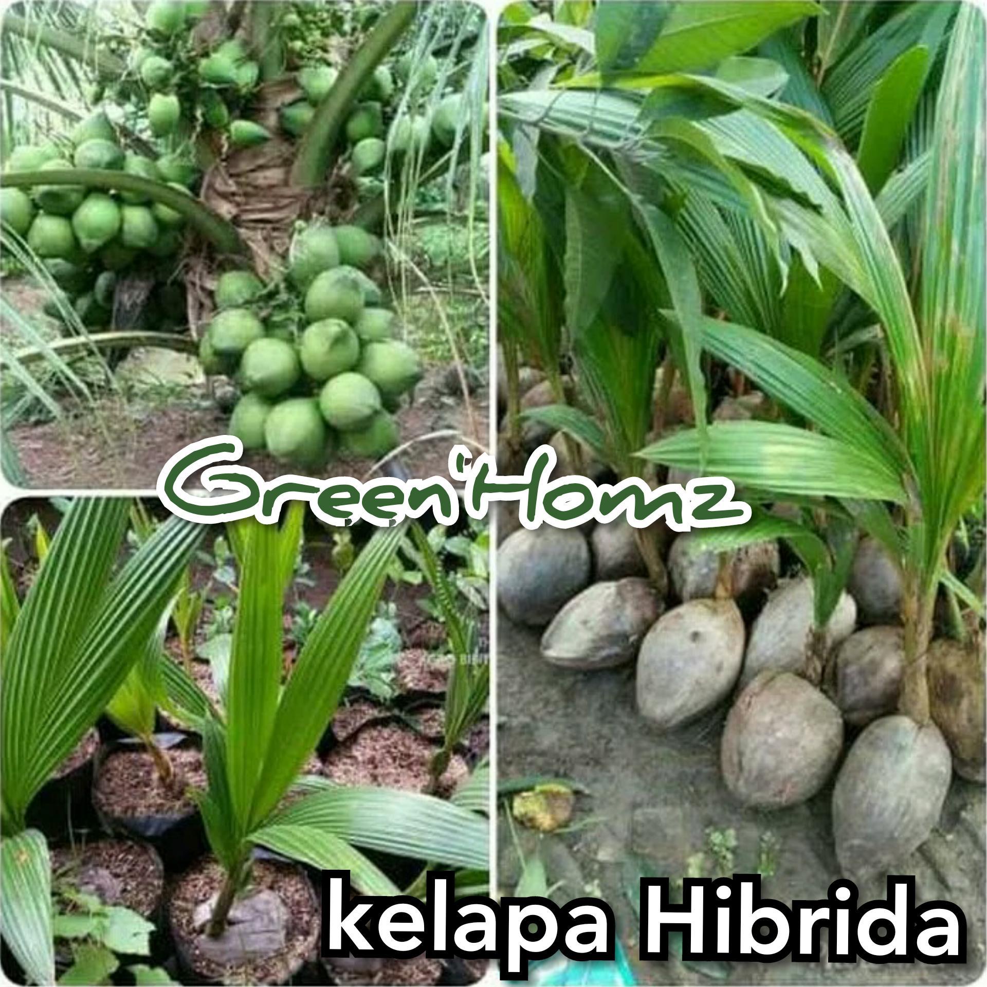 Bibit buah Kelapa hibrida Unggul