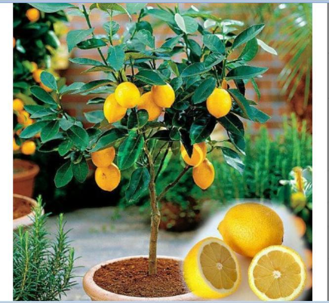 Bibit Tanaman Buah Jeruk Lemon impor Bibit Tanaman Buah Jeruk Lemon impor
