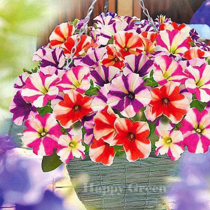 Best Seller!!! Bibit / Benih / Seeds Petunia Star Mixed Flower Unik Murah Minimalis