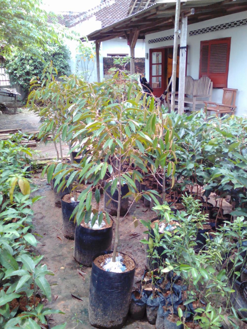 Bibit Durian Bangkok(2 Gratis 1 Bibit Jeruk Manis)