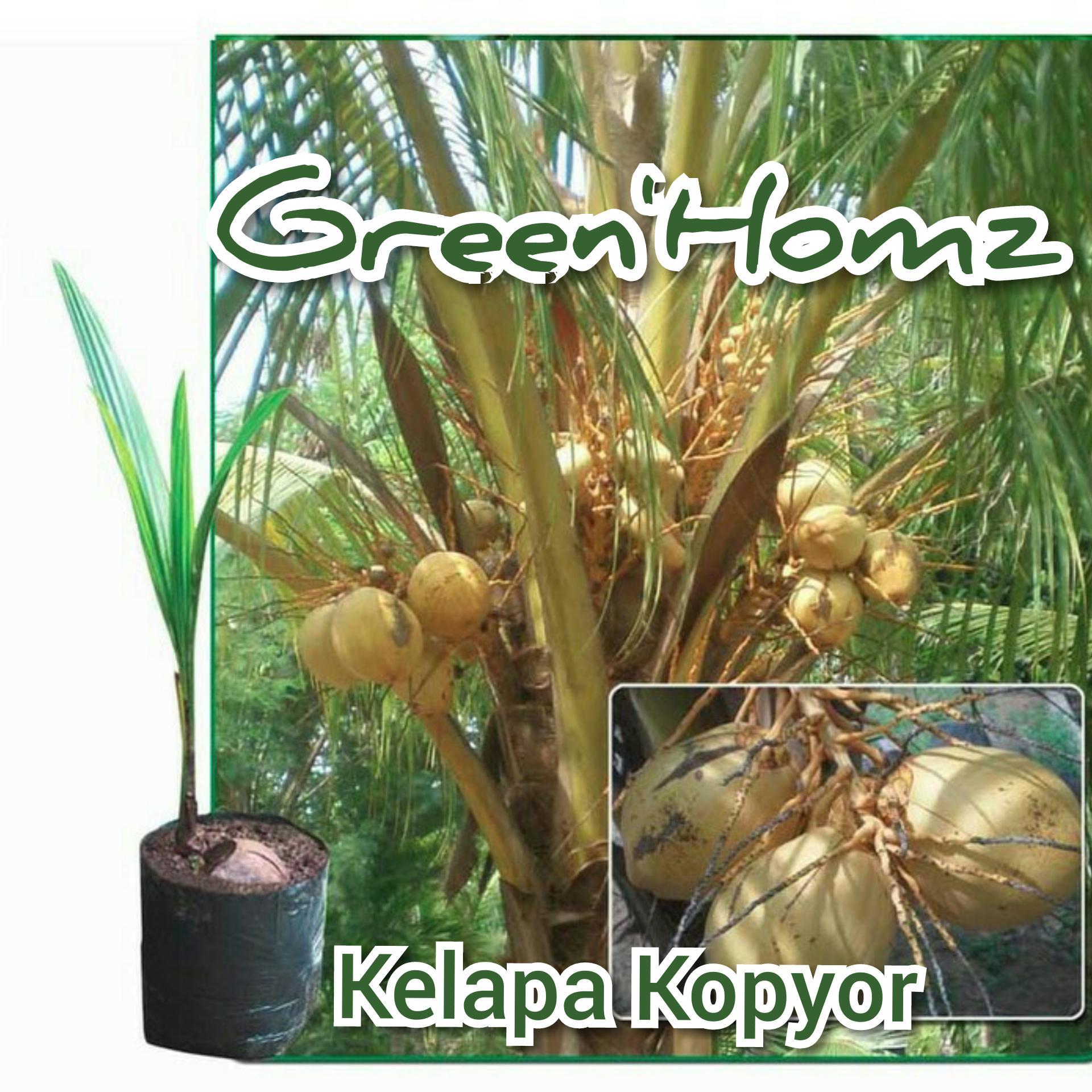bibit buah kelapa kopyor unggul
