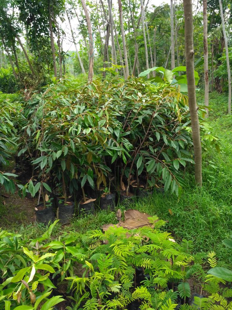 bibit buah durian montong