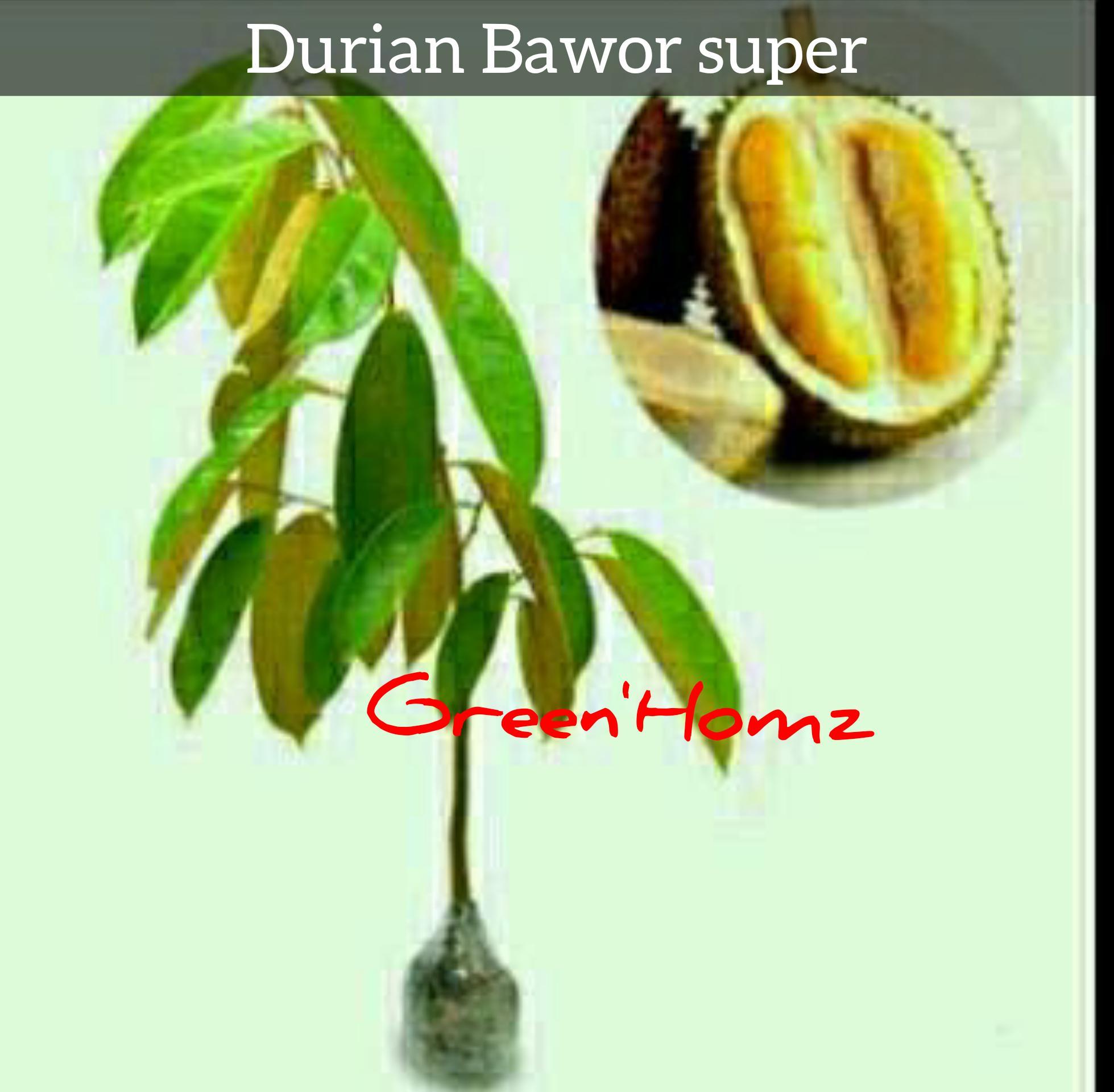 bibit durian bawor super/bawor unggulan