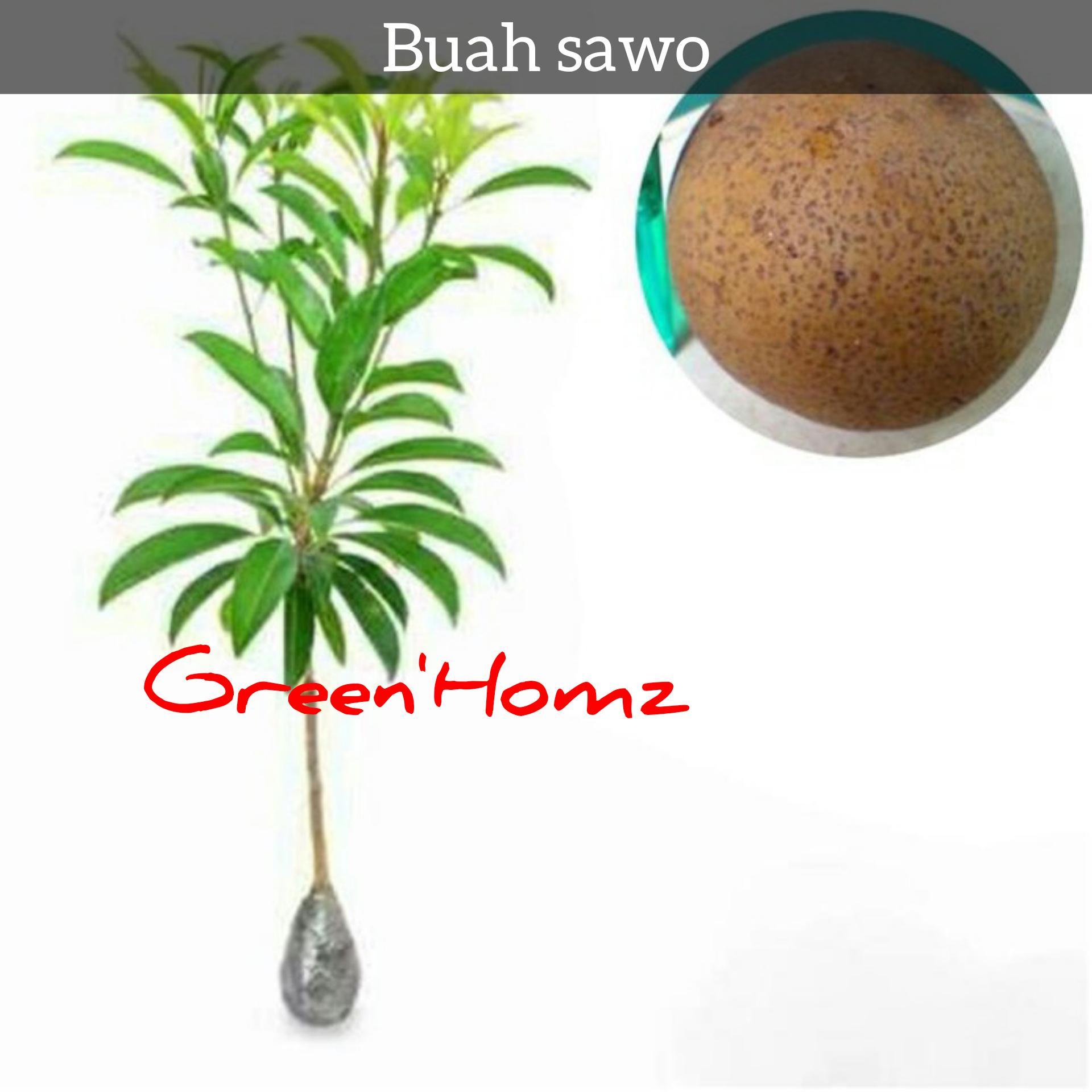 bibit tanaman buah sawo jumbo