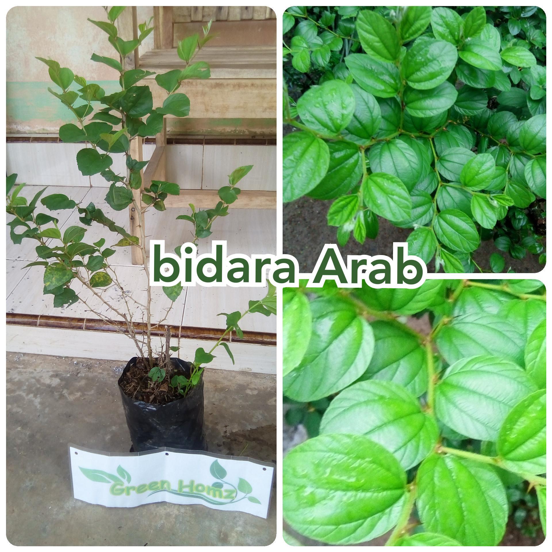 Harga Jual Bibit Tanaman Daun Teh Hijau 20cm 48000 Benih Herbs Catnip Common Haira Seed Bidara Arab Sidr Tumbuhan Banyak Manfaat