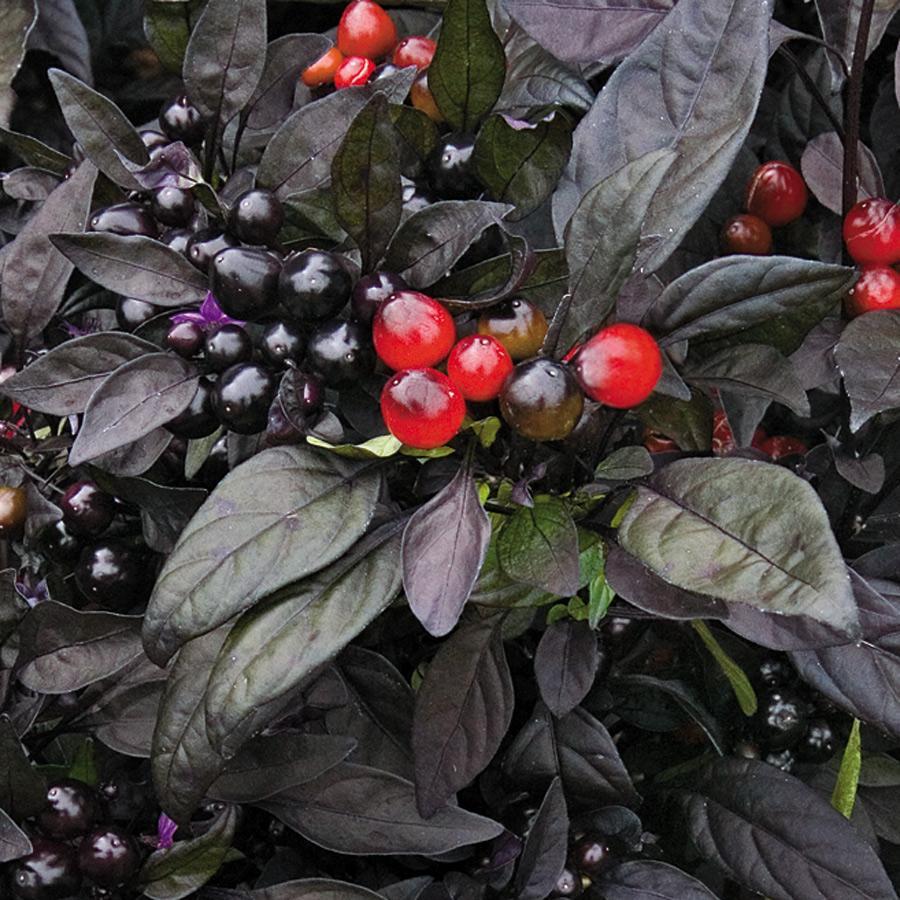 Bibit / Benih / Seeds Cabe Pedas Ornamental Black Pearl Pepper