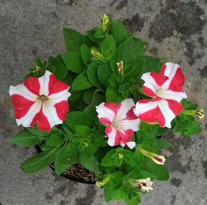... SALE Benih Bibit Bunga Petunia Ultra Mixed Haira Seed Import
