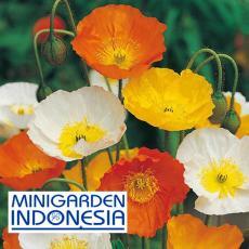 50 Benih Bunga Poppy Iceland Mixed F1 bibit tanaman mr fothergills