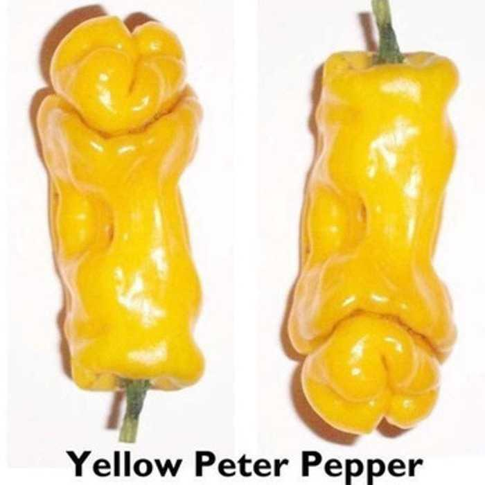 Bibit / Benih / Seeds Yellow Peter Pepper Cabe Unik Ornamental Unik Murah Minimalis