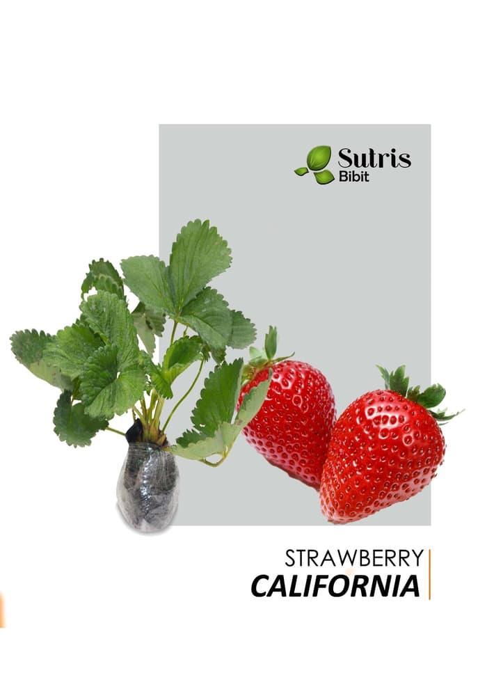 Bibit Tanaman Buah Strawberry California