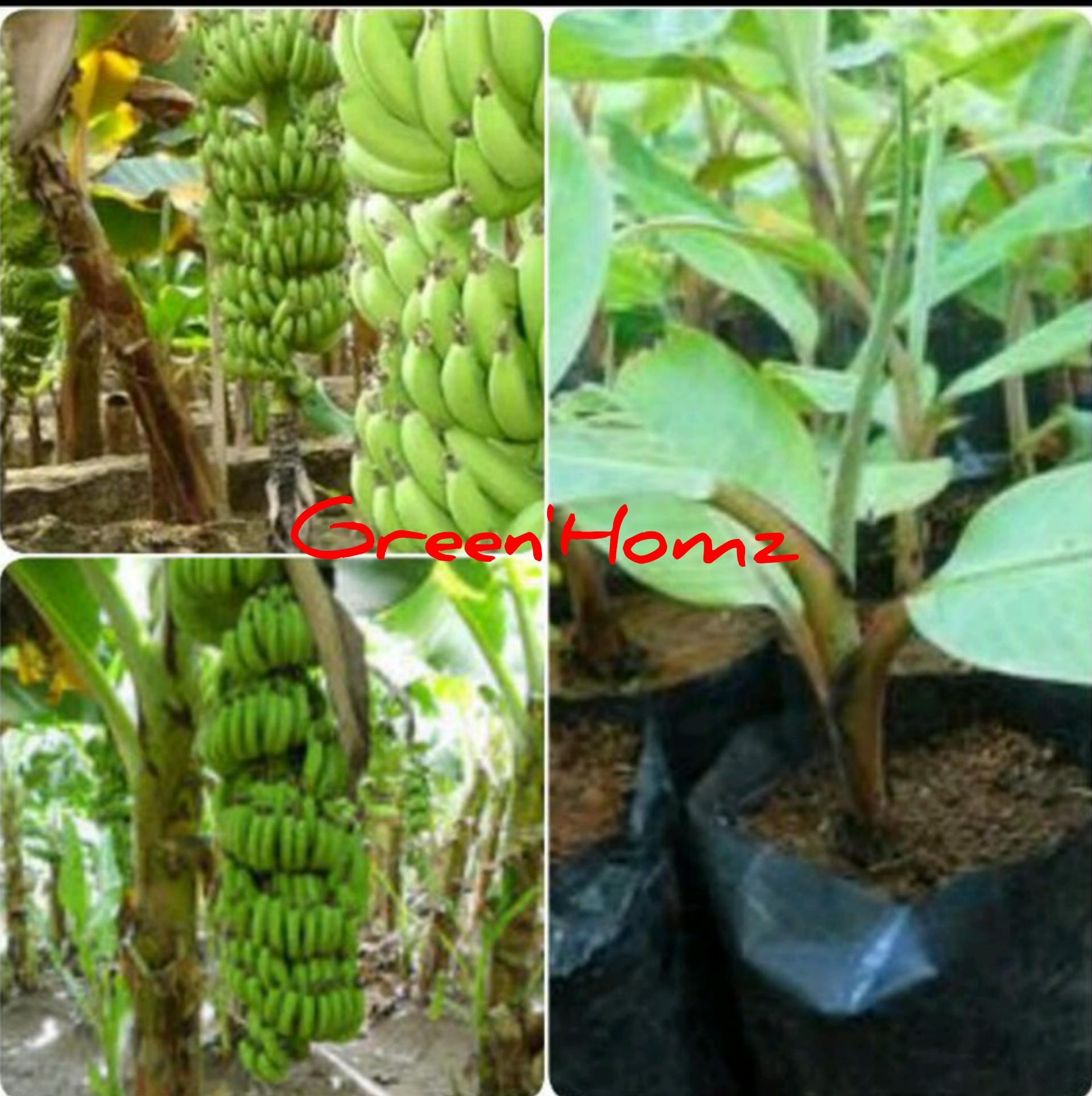 bibit pisang raja bulu
