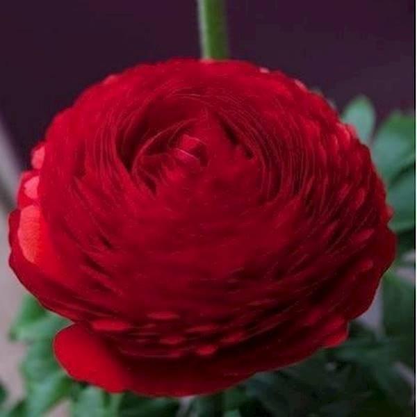 Benih Bibit Biji Bunga Red Ranunculus (Persian Buttercup)