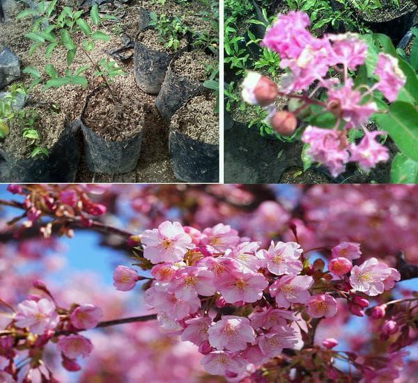Amefurashi Bibit Benih Bunga Forget Me Not Blue Flower Daftar Source · Amefurashi Bibit Benih Pohon Jacaranda Showy Tree Flower Source Paket 2 Bibit Pohon ...