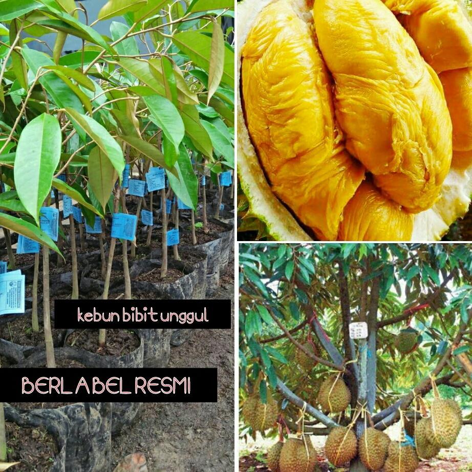 Bibit durian montong berlabel