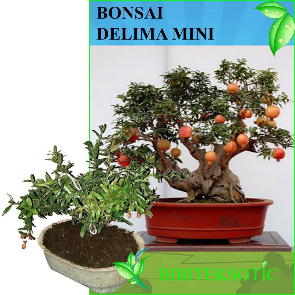 Bibit Eksotic Bonsai Delima Mini
