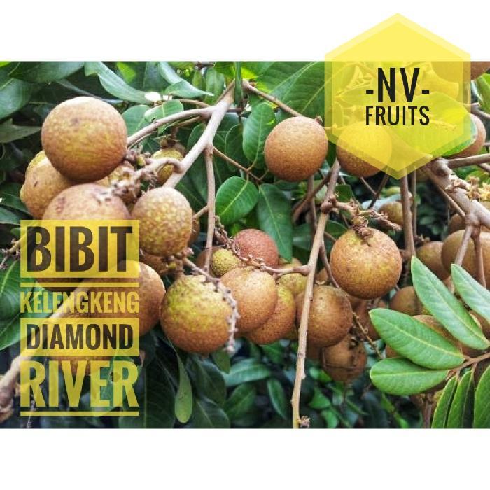 Bibit Buah Kelengkeng Diamond River