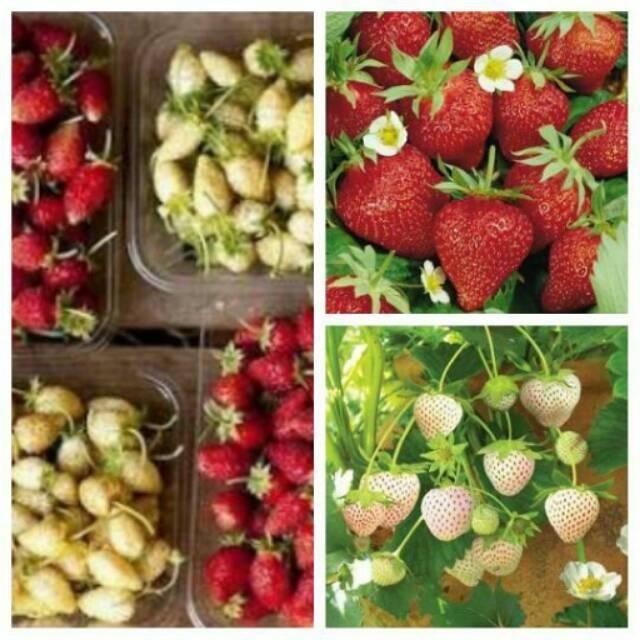 Biji Buah Strawberry Alpine Mixed Red Cream (Type Strawberry Musim Panas)