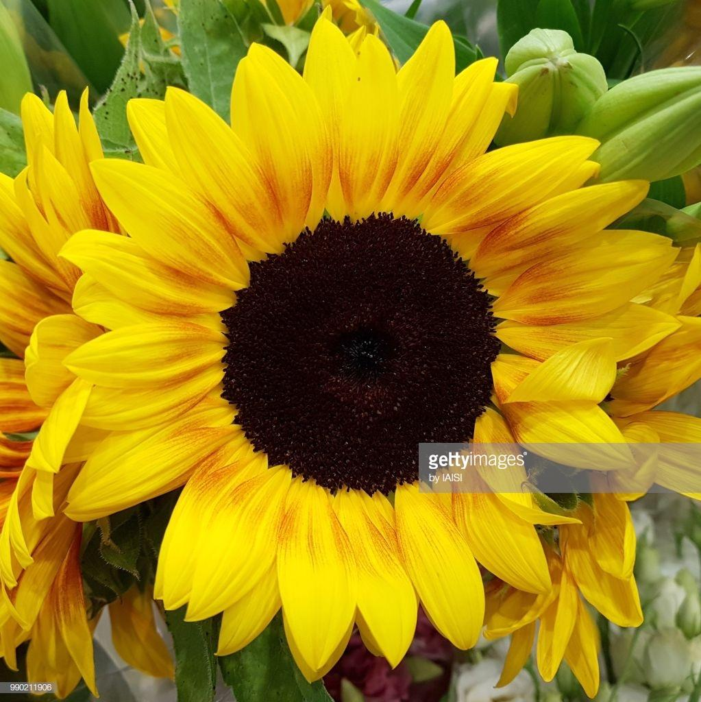 Tumbuhan Biji Bijian Isi 50 Benih Bibit Sayur Cabe Cabai Rawit Bangkok 10 Seeds Bunga Matahari Black Heart Sunflower