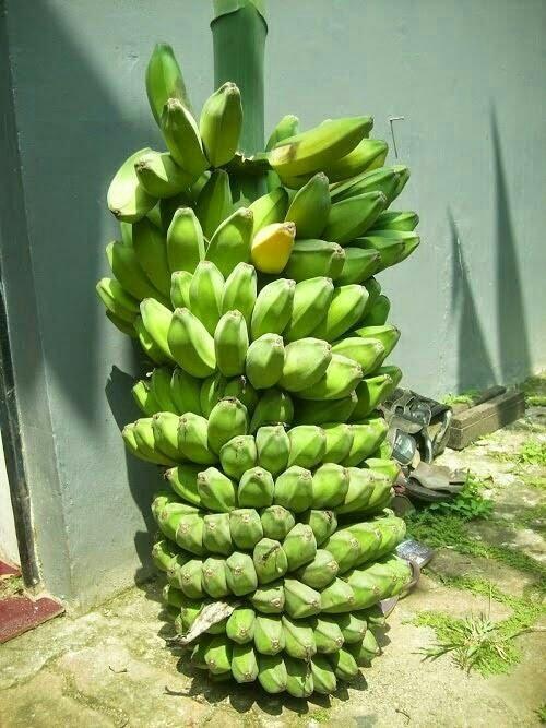 bibit pisang kepok manado