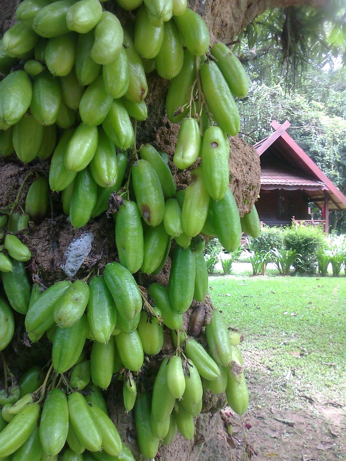 Berisi 55 butir biji benih bonsai buah belimbing wuluh