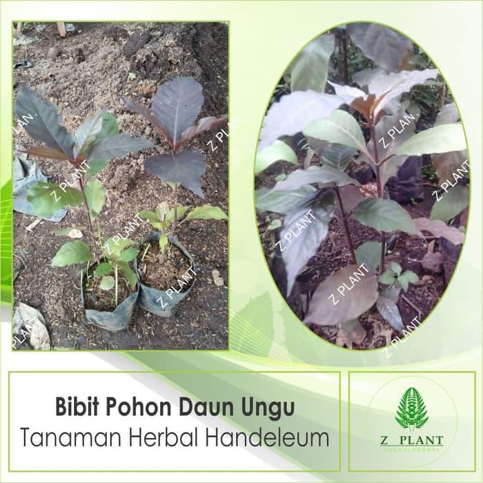Bibit Pohon Daun Ungu - Tanaman Herbal Handeleum
