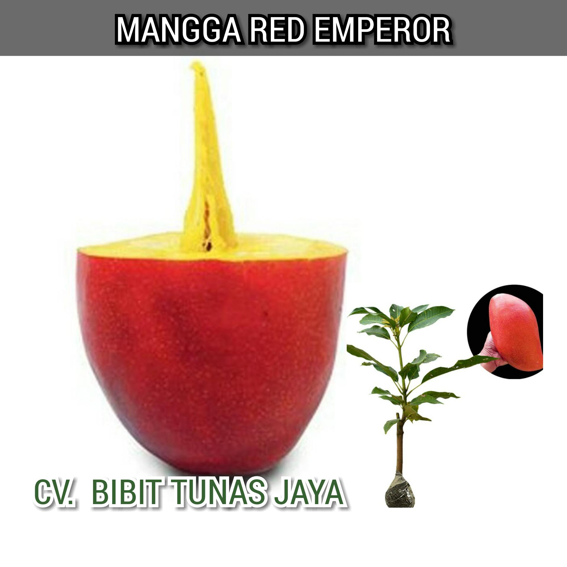 Buy Sell Cheapest Juicy Red Mangga Best Quality Product Deals