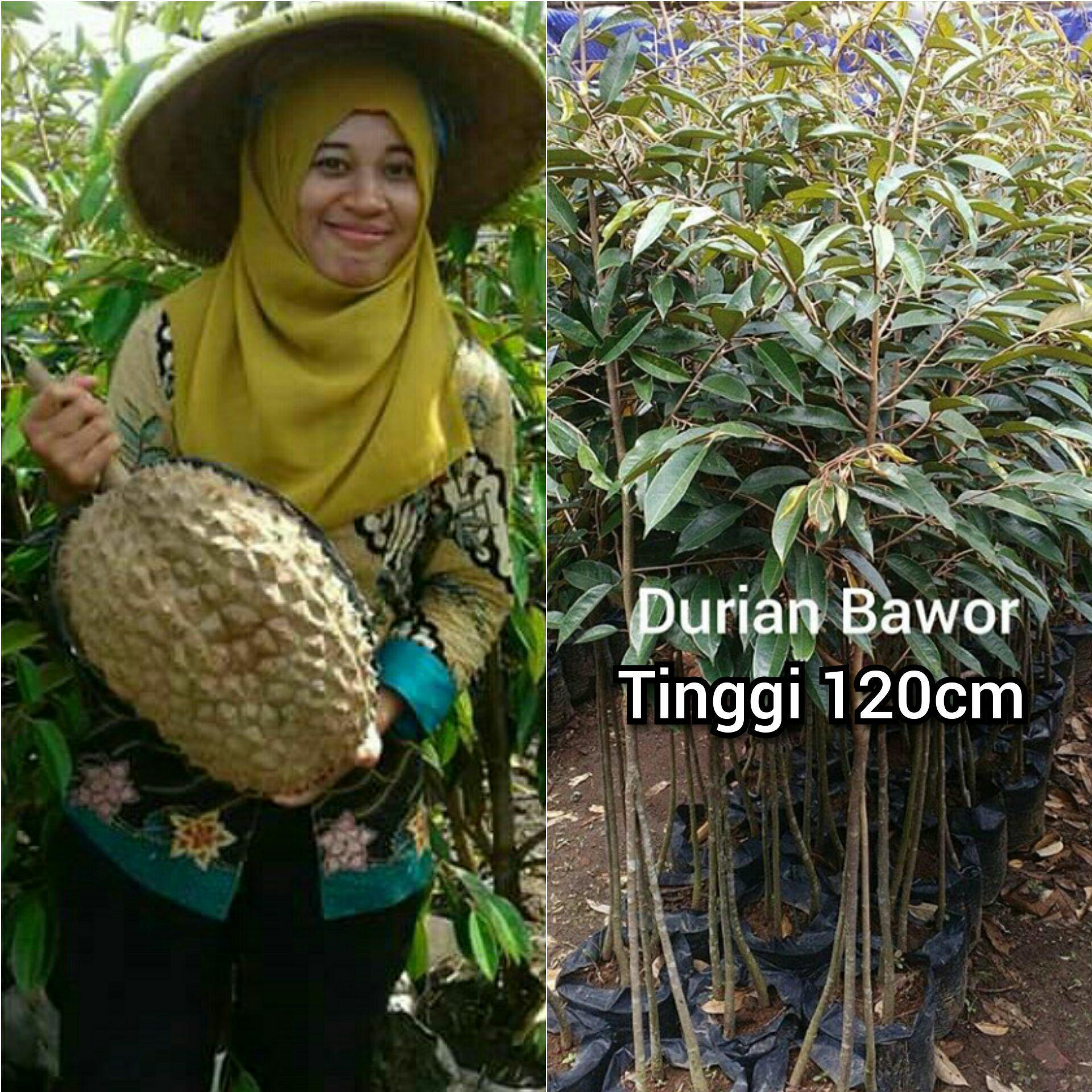 Bibit durian BHINNEKA montong bawor kaki3