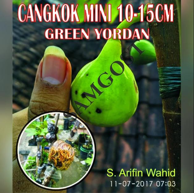 Bibit Cangkok Mini Buah Tin Green Yordan - UK 10-15 Cm CANGKOK MINI