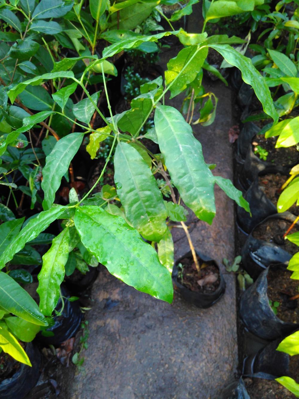 Bibit Pohon Cendana Kupang