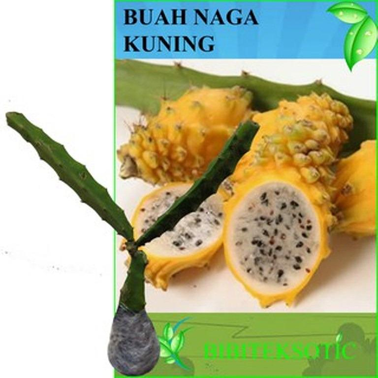 Bibit Eksotic Buah Naga Kuning