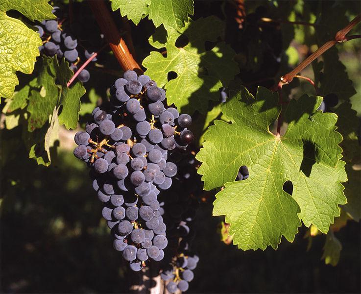 Bibit / Benih / Seeds Buah Anggur Red Grape Fruit