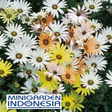 10 Benih Bunga Daisy Osteospermum Limpopo F1 Mr Fothergills Bibit tanaman