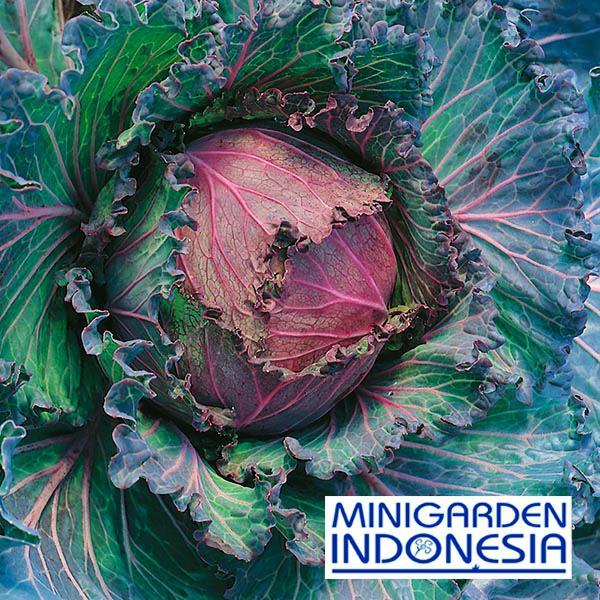 20 Benih Kubis kol (Savoy) January King 3 F1 Mr Fothergills Bibit tanaman sayur sayuran Hidroponik