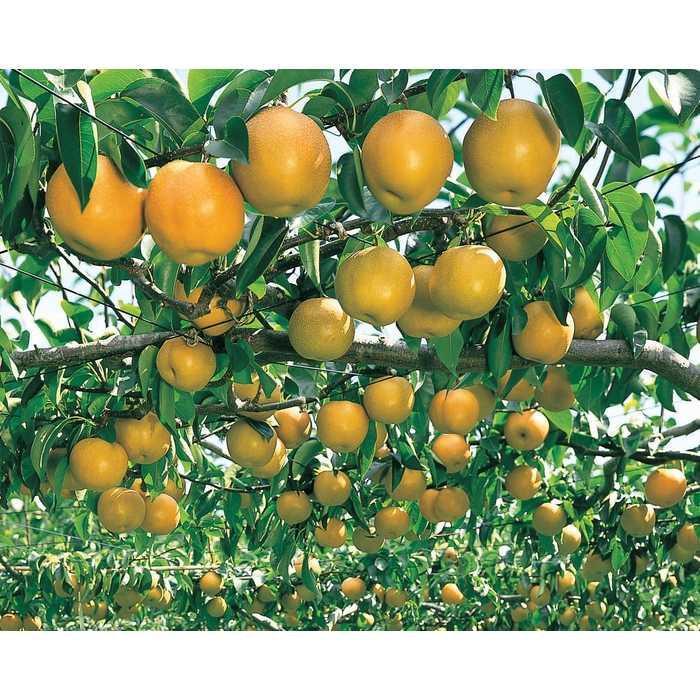 Bibit / Benih / Seeds Japanese Pear Good Fruit Import Buah Pir Jepang