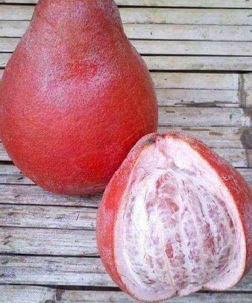 Bibit Tanaman Buah Jeruk Pamelo Red Ruby Thailand 40cm