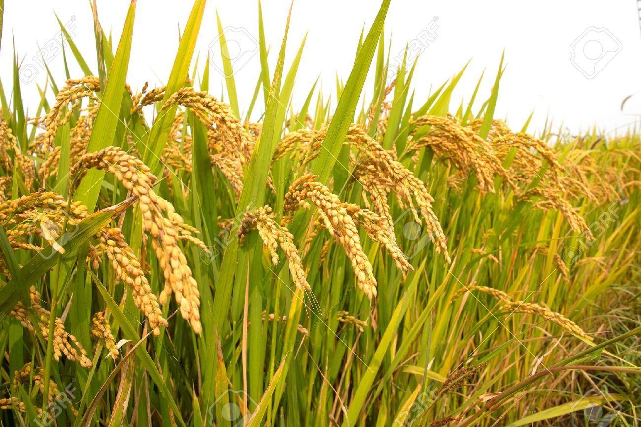 Bibit / Benih / Seed Padi 1 kg Isi Banyak Muda Tumbuh Ayo Tanam Di Pot