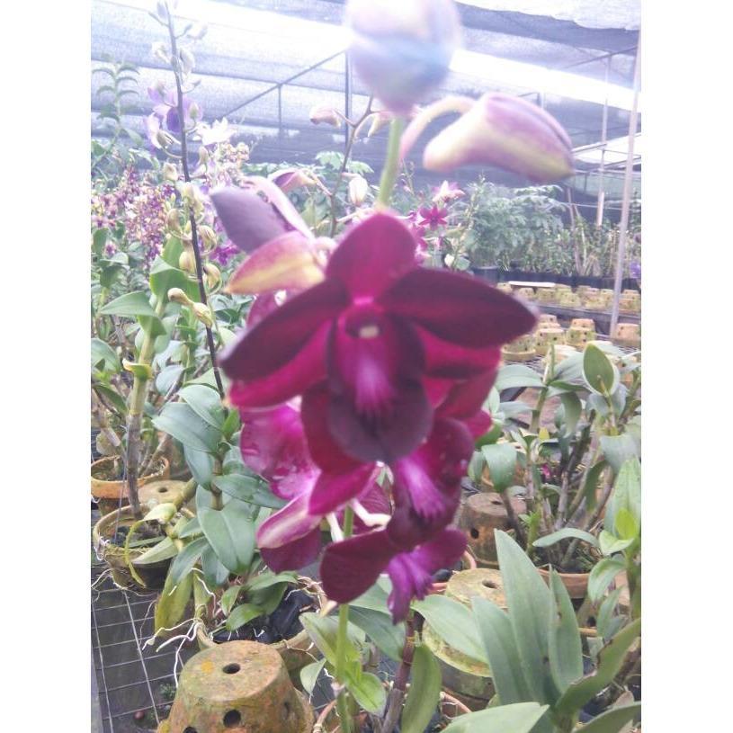 ANGGREK DENDROBIUM SUPER / Bunga / Bibit / Kembang / Tanaman / Hias
