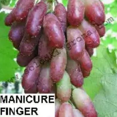 bibit anggur import manicurfinger