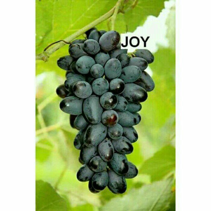 Bibit anggur impor joy