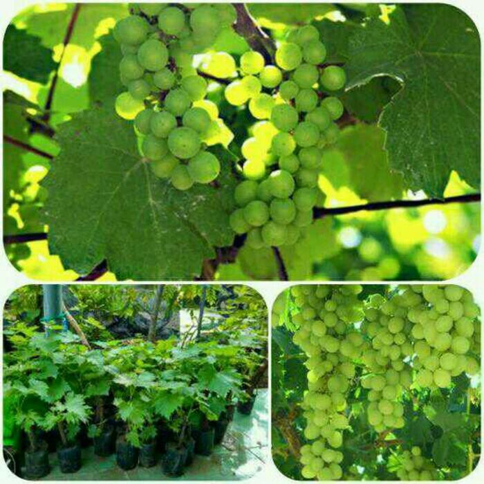 Bibit Tanaman Buah Anggur Isabel