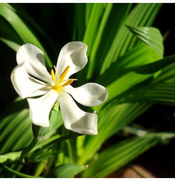 Bibit Bunga Benih Charmomile. Source · Bawang Sabrang