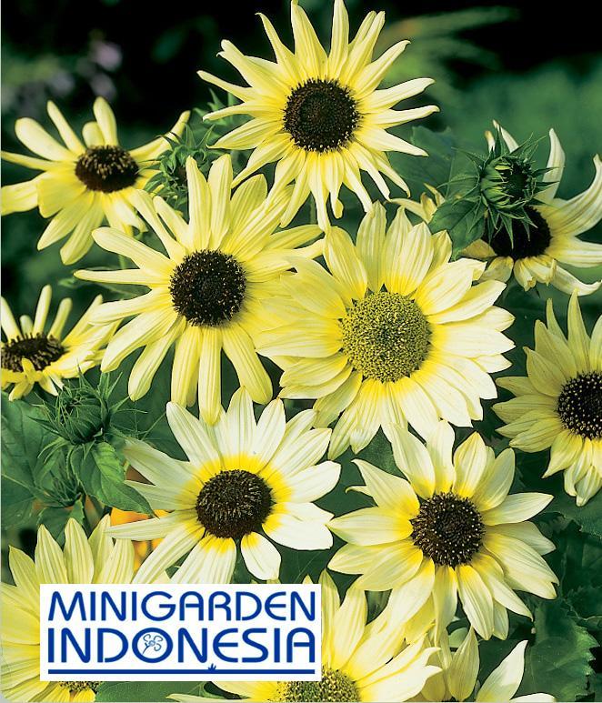 2 Benih Sunflower vanila ice F1 Mr Fothergills Bibit tanaman bunga matahari