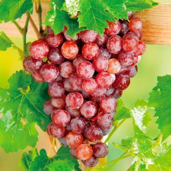 Pencarian Termurah 20 Bibit / Benih / Seeds Buah Anggur Red Grape Fruit sale - Hanya