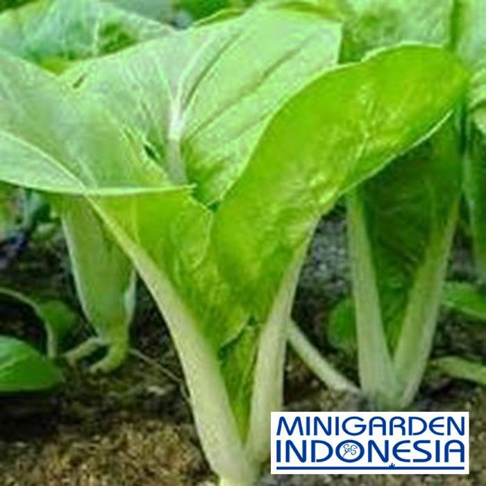 100 Benih Sawi Manis Show Jean F1 bibit tanaman sayuran hidroponik