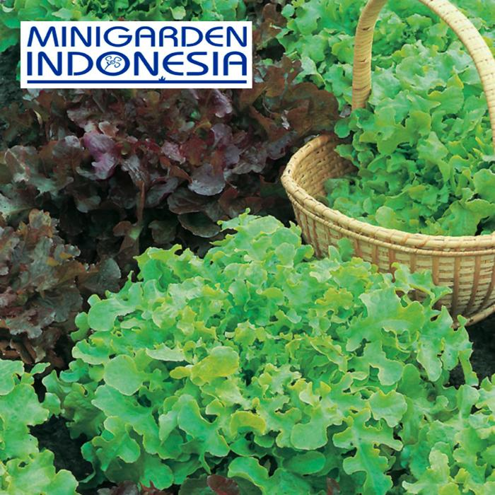 50 benih selada salad red bowl and green mixed Mr Fothergills Bibit Tanaman sayur sayuran hidroponik