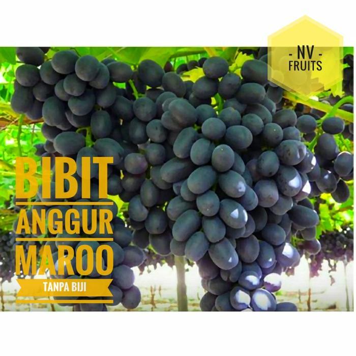Bibit Buah Anggur Maroo Tanpa Biji